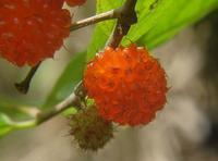 木苺 - ネコと裏山日記