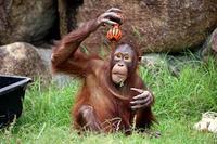 遊ぶオランウータン - 動物園放浪記