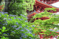 アジサイ 高幡不動尊金剛寺 - 風景写真家 鐘ヶ江道彦のフォトブログ
