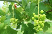 葡萄の袋かけ - 葡萄と田舎時間