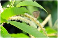 Wake up♯554 栗の木の物語 てふてふ捜索隊 ムラサキシジミ 2017 - Faunas & Floras  Phase2