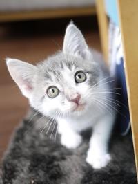 猫のお留守番 バーニーくん編。 - ゆきねこ猫家族