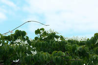 初夏の花 ~ヤマボウシ~ - 但馬・写真日和