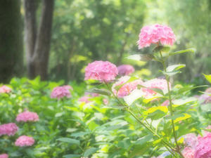 万博公園  紫陽花2 - 心の万華鏡