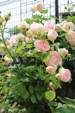 咲いている花*薬剤散布4回目 - my small garden~sugar plum~