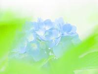 アジサイの花はあと少し見頃が続く - スポック艦長のPhoto Diary