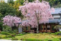 京都の桜2017 正法寺の枝垂れ桜 - 花景色-K.W.C. PhotoBlog