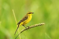 ツメナガセキレイ(Yellow wagtail)/2017.06 - Birding