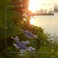 「紫陽花と夕陽」お台場海浜公園 2017.6.19 - わたしの写真箱 ..:*:・'°☆