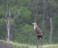 ニムオロ原野の旅(北海道)春国岱#2 - cuccooの野鳥エトセトラ