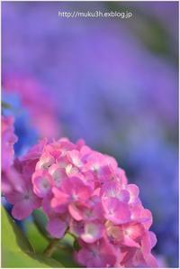 雨を待つ紫陽花 - muku3のフォトスケッチ