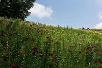 ところざわのゆり園 - あだっちゃんの花鳥風月