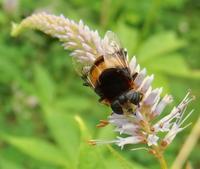 #ハナアブ 『花粉を舐める』 大花虻 Phytomia zonata - 自然感察 *Nature * feeling*