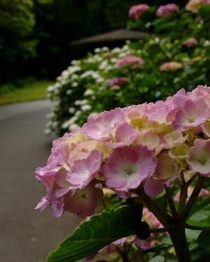 ここでも紫陽花 - ゆるやかな感時