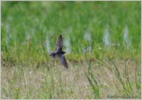ツバメ 低空飛翔 - 野鳥の素顔 <野鳥と・・・他、日々の出来事>