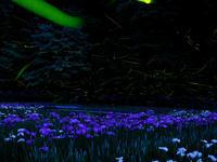 ホタルと花菖蒲 - デジタルで見ていた風景