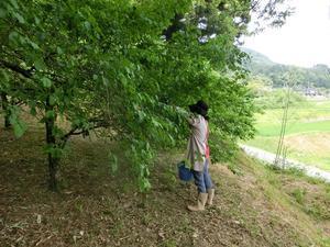 梅の収穫 - jijibabaのお気楽田舎暮らし