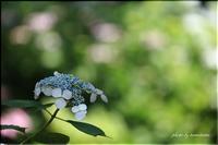 紫陽花いろいろ - 今日のいちまい