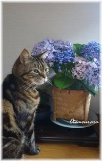 紫陽花 と うらら - 日々楽しく ♪mon bonheur