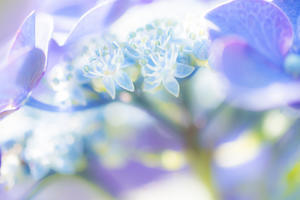 蕩けるように紫陽花 - Omoブログ