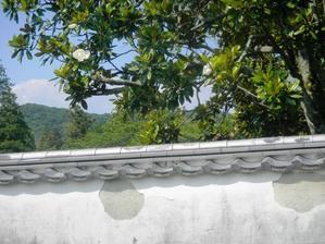 岩国錦帯橋観光情報~公園の大きな花「泰山木」が咲きました - 写真見てください!