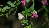 梅雨空 - 紀州里山の蝶たち