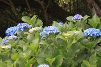 紫陽花の季節 青手毬紫陽花 蛇 ( 竜 ) の 髭 - 仏師 金丸悦朗の挑戦