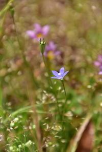 野の花(5月中旬) - 高原に行きたい