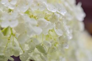 雨上がりの妖艶なアナベル。。。 - 元英国在住アート・セラピストが造る癒しの庭