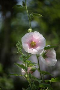庭に咲く初夏の花 ⑦ タチアオイなど  - 風の彩り-2