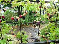 ブラックベリー - natural garden~       shueの庭いじりと日々の覚書き