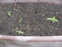 ニチニチソウ 種まきから1か月経過 - ヨガと官足法で素敵生活