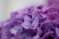 雨と紫陽花 - akiy's  photo