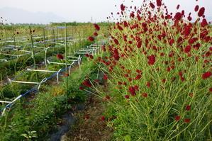 しばらく花の収穫はお休みです - 奥信濃から~花農家のフォトスケッチ