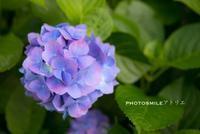 紫陽花ロード◆ - PHOTOSMILE アトリエ