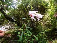 庭のササユリが咲きました。 - 白壁荘だより  天城百話