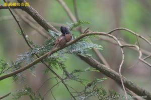 サンコウチョウ - 奥武蔵の自然
