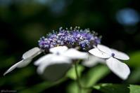 紫陽花 - 蜂野武蔵は死んだのさ