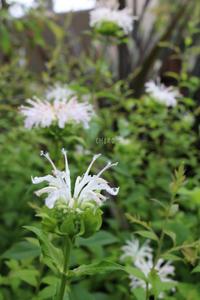 それでも花は咲く - CHIROのお庭しごと