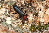 チャイロホソヒラタカミキリ - Insect walk