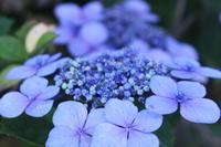 紫陽花 - 猪こっと猛進