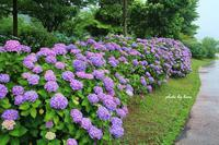紫陽花日和 - 晴れ時々そよ風