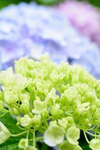 雨上がりの紫陽花 - Always Together!