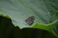 ウラナミジャノメ 6月25日 - 超蝶