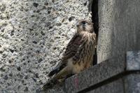 チョウゲンボウ 06月24日 - 旧サンヨン(Nikon 300mm f/4D)野鳥撮影放浪記