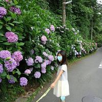 お散歩道のあじさい 鎌倉 6月24日 - Yo3*気ままにHandmade Days