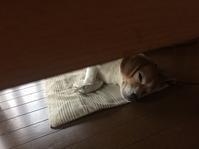 暑い… - ビビリビーグル☆ケン(毎日空腹)