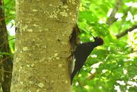 クマゲラ - ごっちの鳥日記