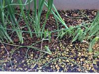 九条ネギ、にら、大葉 - 3F garden(屋根付屋外水耕)