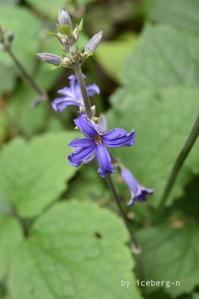 裏庭 ① 木立性クレマチス ヘラクレイフォリァ・ニューラブ - 小さな庭 2